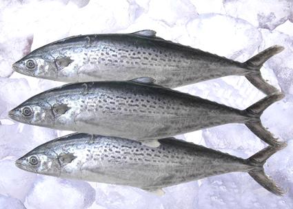 煎鲅鱼手绘图