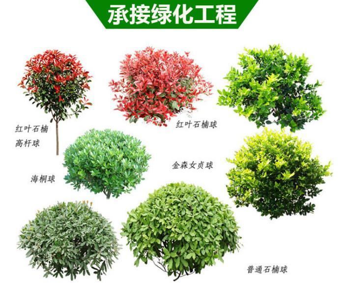 1.如有不发芽银杏树苗请在春天季节拍照片.